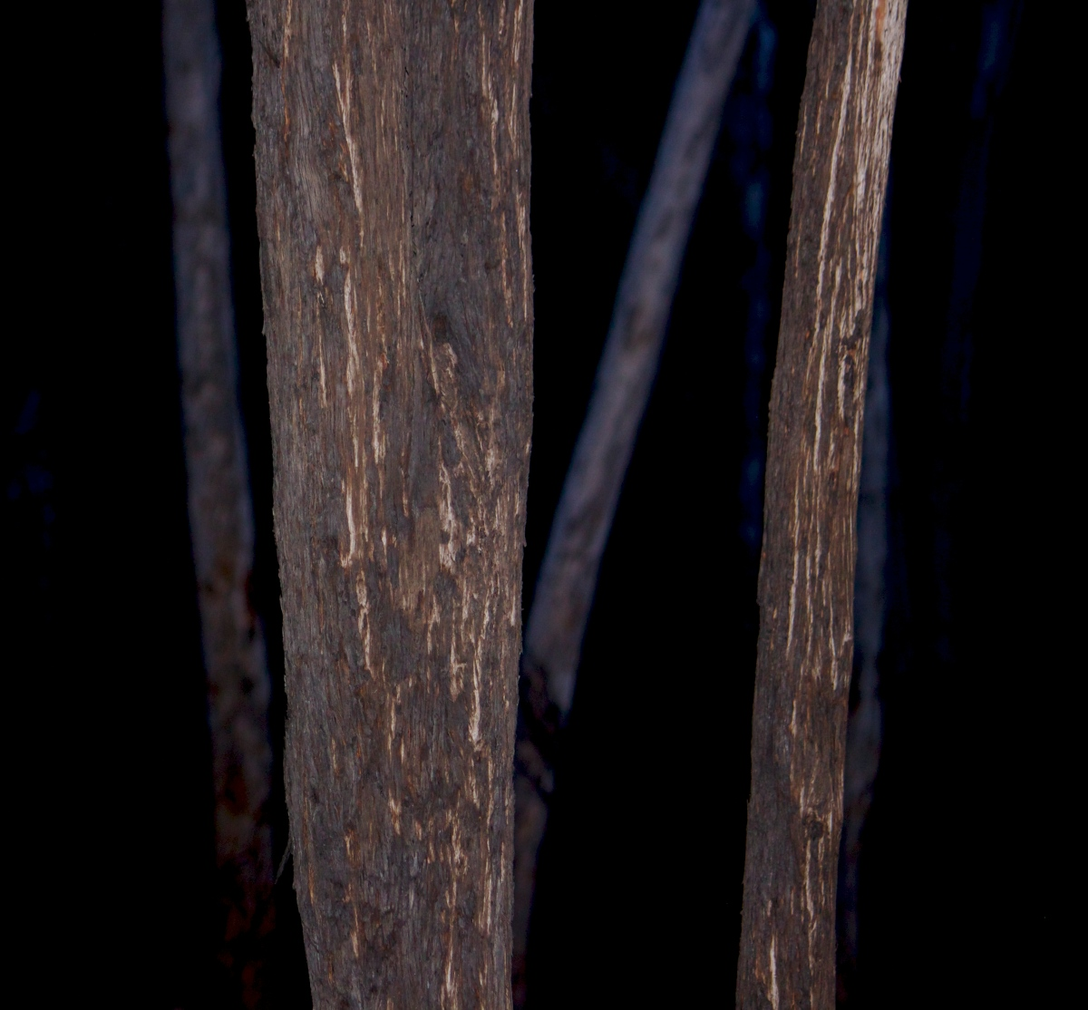 Eucalypt