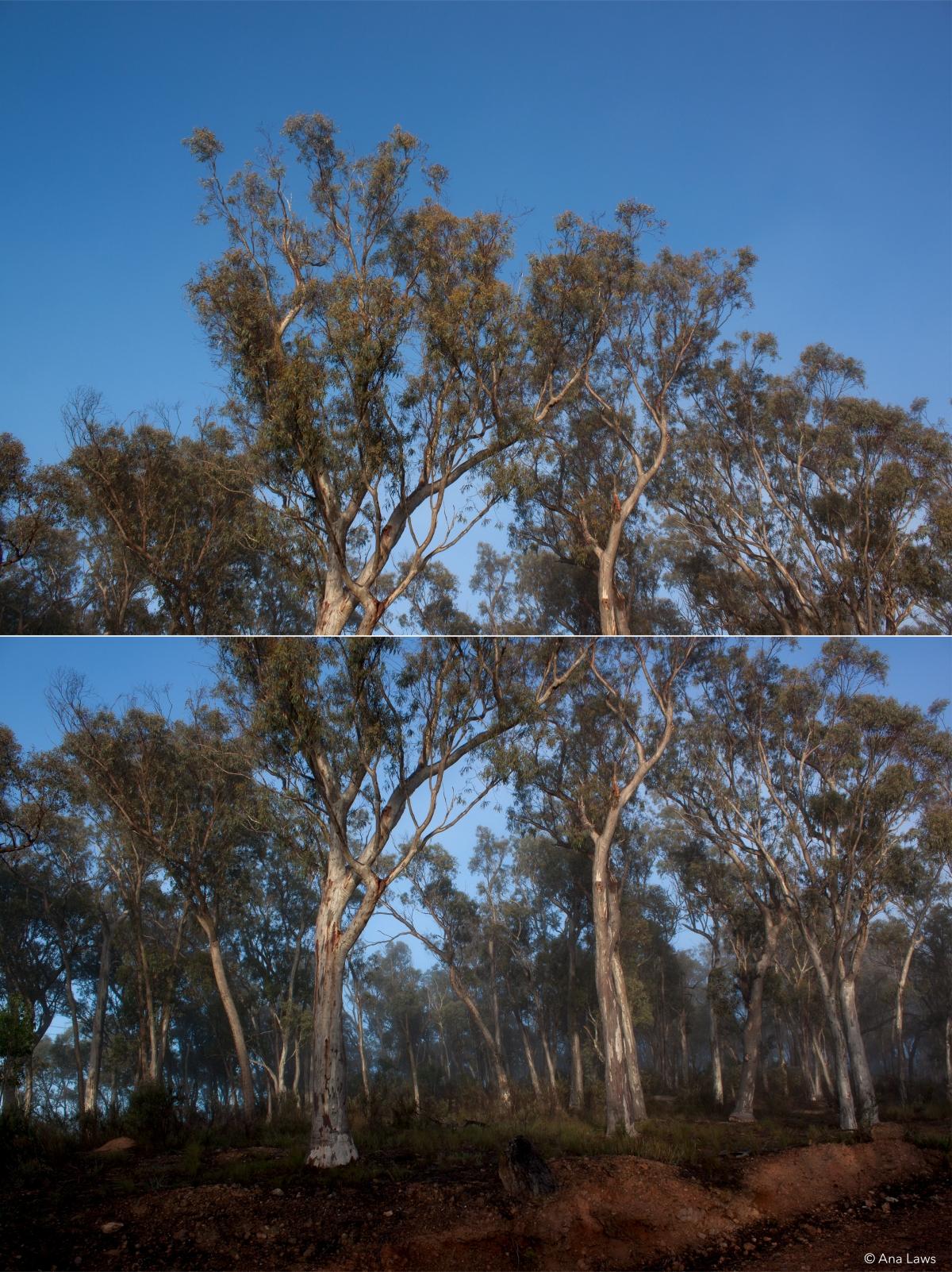 AustralianTrees